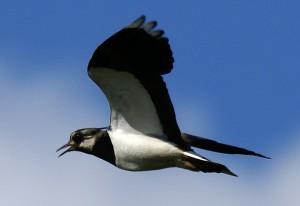 Weidevogelbeheer op uw akker