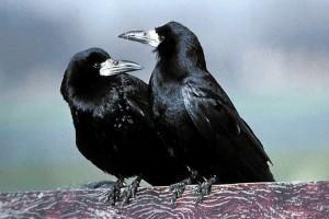 Roeken en kolonie vogels