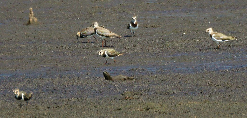 Bijzonder: Weidevogels in Aan't Elfde, de Groote Peel